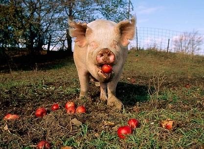 lechon-pig